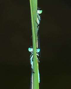 20130904_3199.Ischnura-elegans-2M