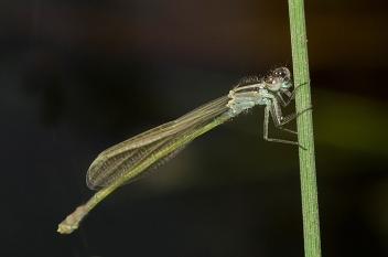sehr junges Weibchen in grüner Variante