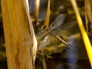 ein Weibchen fliegt durchs Schilf auf der Suche nach einem geeigneten Platz zur Eiablage