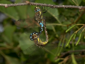 20. Herbst-Mosaikjungfer-Paarungsrad