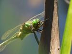 09.-_9542.Glänzende-Smaragdlibelle